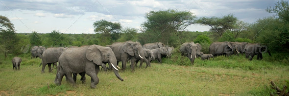 Herd of elephant in the serengeti plain - Stock Photo - Images