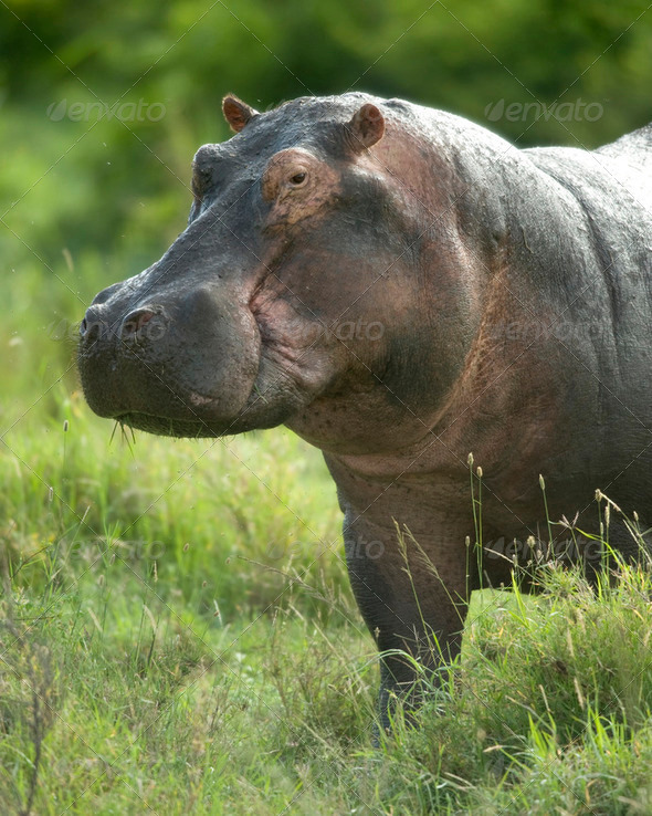 hippopotamus in the serengeti reserve - Stock Photo - Images