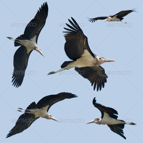 Set of Leptoptilos flying - Stock Photo - Images