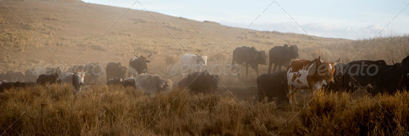 backlighting on a herd of caw - Stock Photo - Images