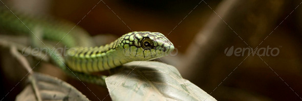 Boomslang - dispholidus typus typus - Stock Photo - Images
