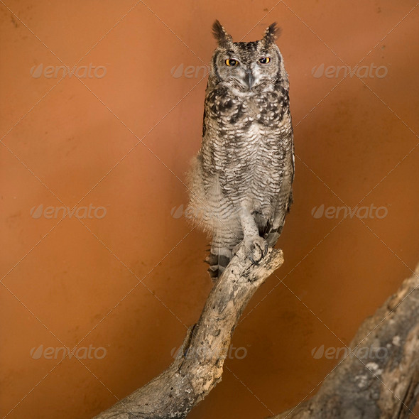 Owl in a african zoo - Stock Photo - Images