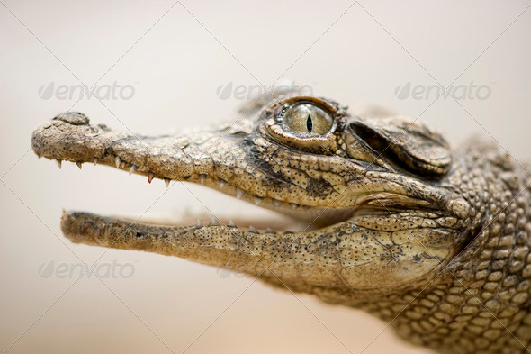 Young caiman - Stock Photo - Images