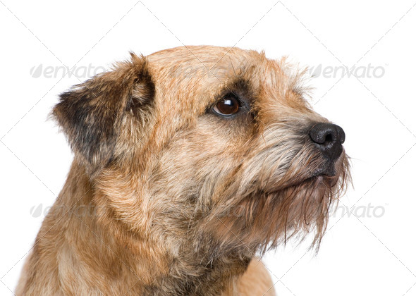 Border terrier - Stock Photo - Images