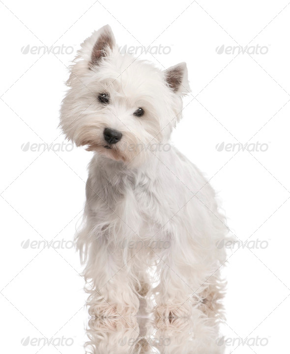West Highland White Terrier (3 years) - Stock Photo - Images