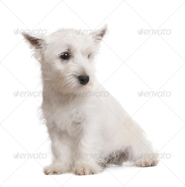 West Highland White Terrier (3 months) - Stock Photo - Images