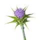 Whole fresh purple milk thistle flower close up on white background - PhotoDune Item for Sale