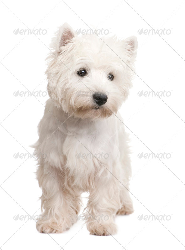 West Highland White Terrier (8 months) - Stock Photo - Images