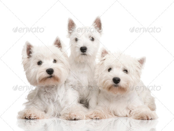West Highland White Terrier in a row - Stock Photo - Images