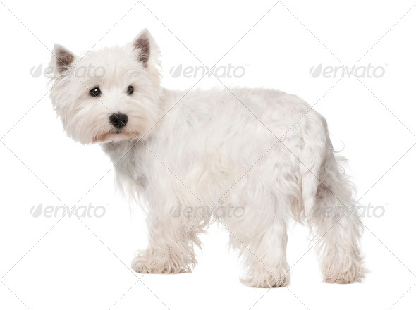 West Highland White Terrier () - Stock Photo - Images