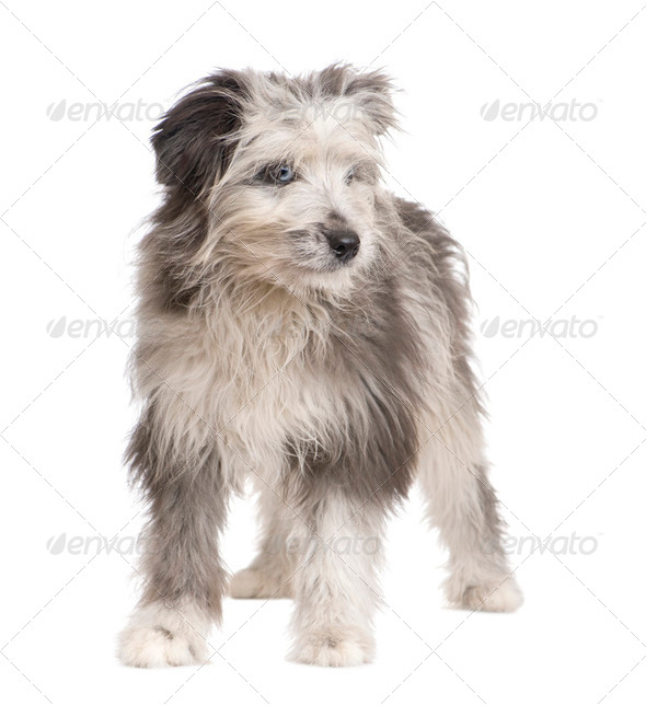 Pyrenean Shepherd (18 weeks) - Stock Photo - Images