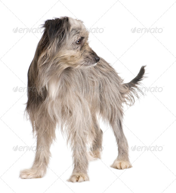 Pyrenean Shepherd (1 year) - Stock Photo - Images