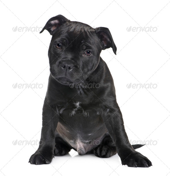 puppy Staffordshire Bull Terrier (2 months) - Stock Photo - Images