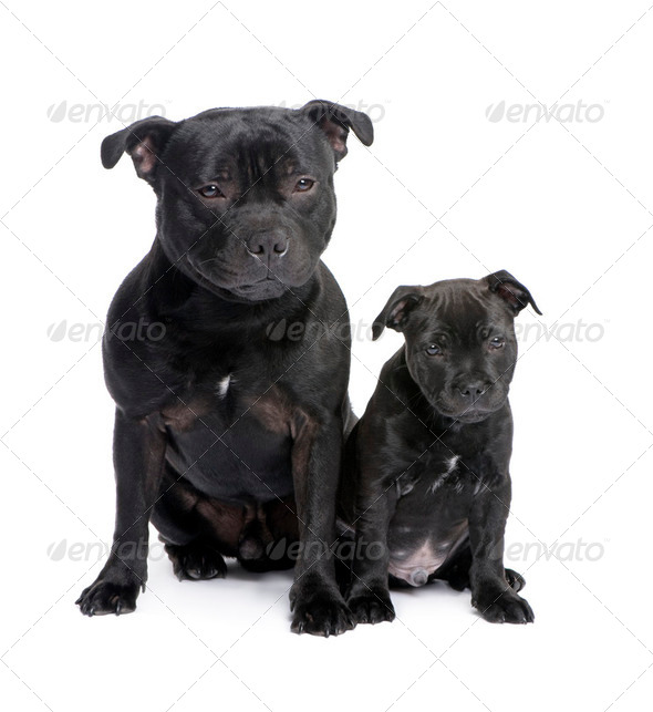 Staffordshire Bull Terrier () - Stock Photo - Images