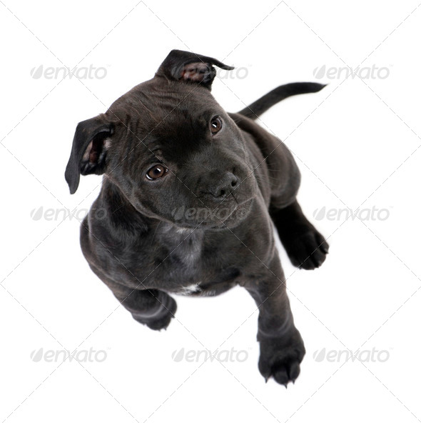 Staffordshire Bull Terrier puppy (2 months) - Stock Photo - Images