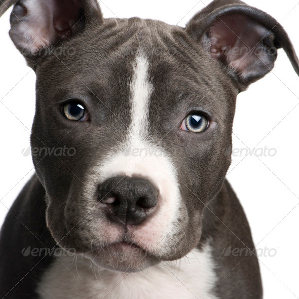 American Staffordshire terrier puppy (3 months) - Stock Photo - Images