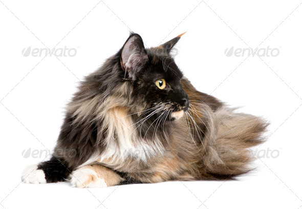 Maine Coon (11 months) - Stock Photo - Images