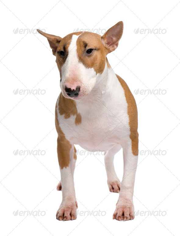 Bull Terrier (11 months) - Stock Photo - Images