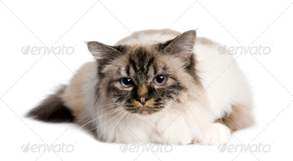 Birman (2,5 years) - Stock Photo - Images