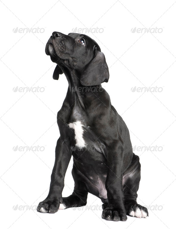 puppy Great Dane (2 months) - Stock Photo - Images