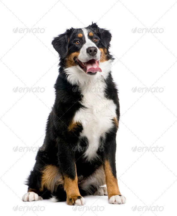 Bernese mountain dog (15 months) - Stock Photo - Images