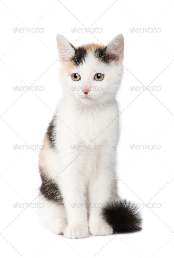 kitten European Shorthair cat (2 months) - Stock Photo - Images