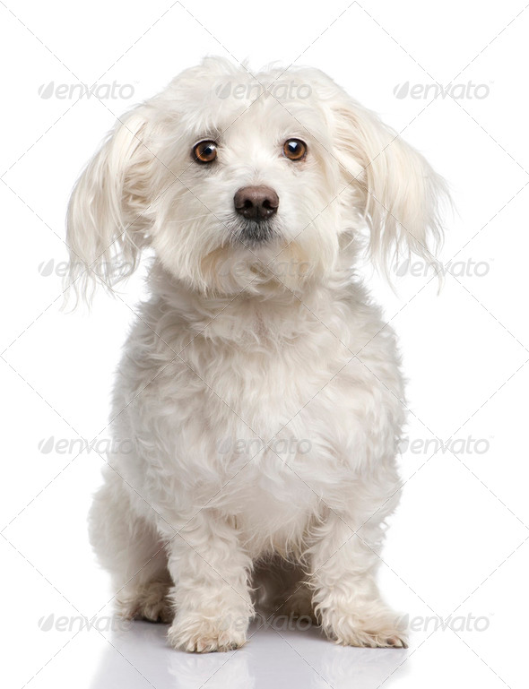 maltese dog (5 years) - Stock Photo - Images
