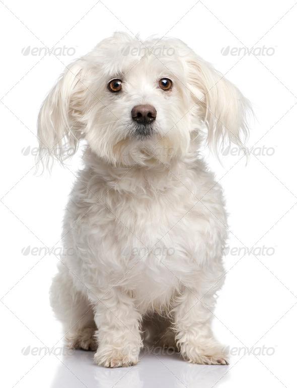 maltese dog (5 years) - Stock Photo - Images