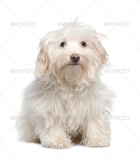 puppy maltese dog (5 months) - Stock Photo - Images