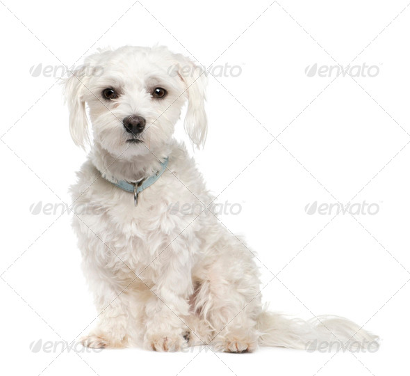 maltese dog (18 months) - Stock Photo - Images