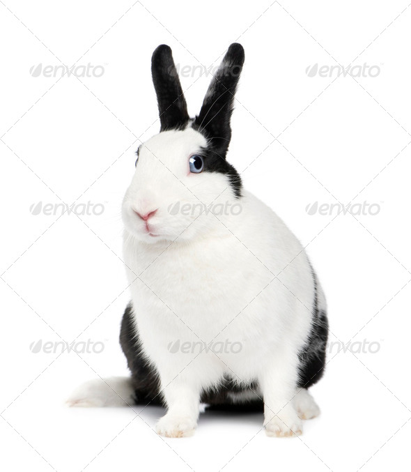 Rabbit (11 months) - Stock Photo - Images
