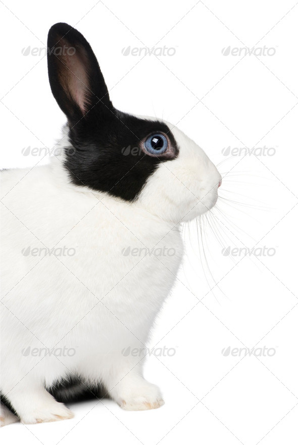 Rabbit (11 months) - Stock Photo - Images