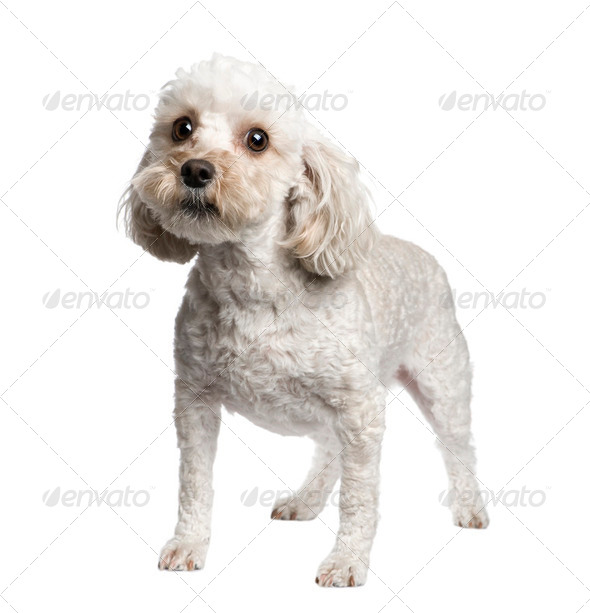 Mixed-Breed Dog between (4 years) - Stock Photo - Images