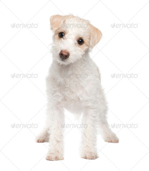 puppy Mixed-Breed Dog between maltese dog and a jack russel (5 months) - Stock Photo - Images