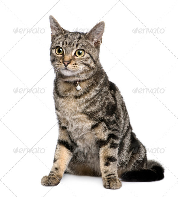 young European Shorthair (5 months) - Stock Photo - Images
