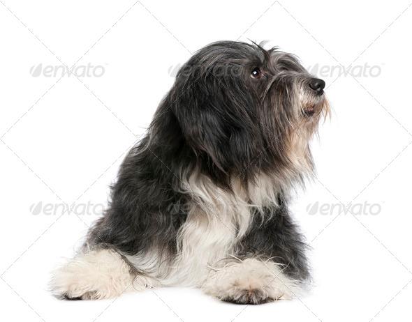Tibetan Terrier (7 years) - Stock Photo - Images