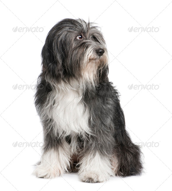 Tibetan Terrier (7 years) - Stock Photo - Images