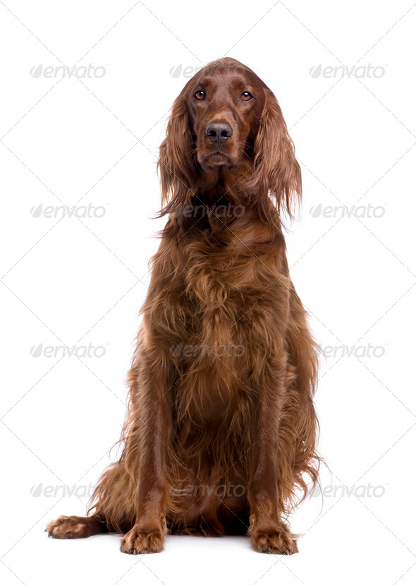 Irish Setter (3 years) - Stock Photo - Images