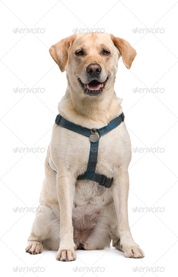 Labrador (5 years) - Stock Photo - Images