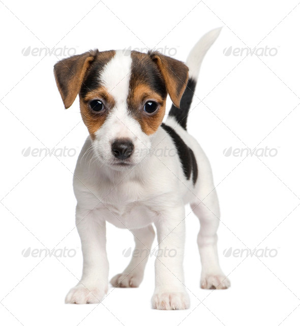 puppy Jack russell (8 weeks) - Stock Photo - Images