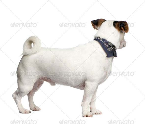 Jack russell (3 years) - Stock Photo - Images