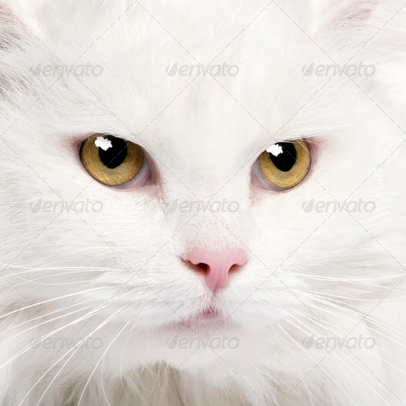 close-up on a white angora cat (5 years) - Stock Photo - Images