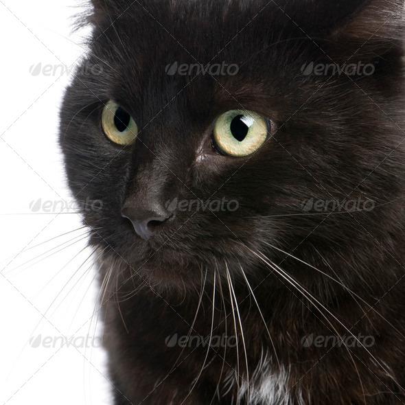black European Shorthair cat (5 years) - Stock Photo - Images