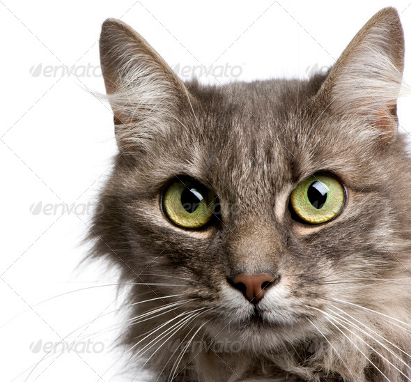 close-up on a Crossbreed angora cat and european cat (9 years) - Stock Photo - Images