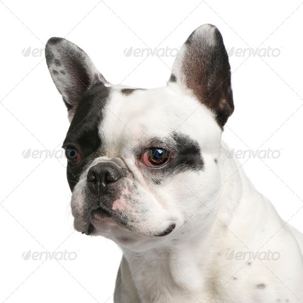 Close-up on a French Bulldog (5 years) - Stock Photo - Images