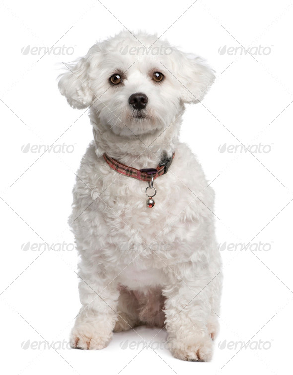 maltese dog (18 months) - Stock Photo - Images