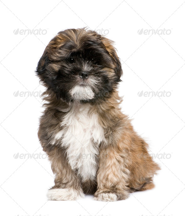 Puppy Lhasa Apso (3 months) - Stock Photo - Images