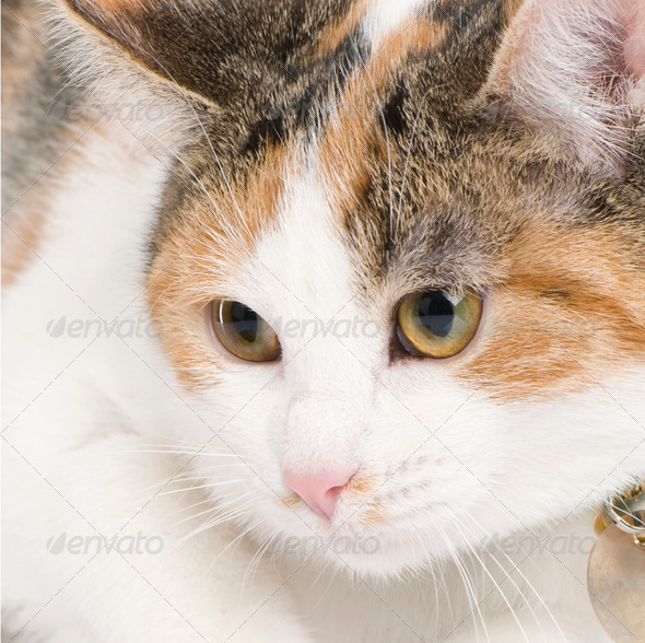 European cat - Stock Photo - Images