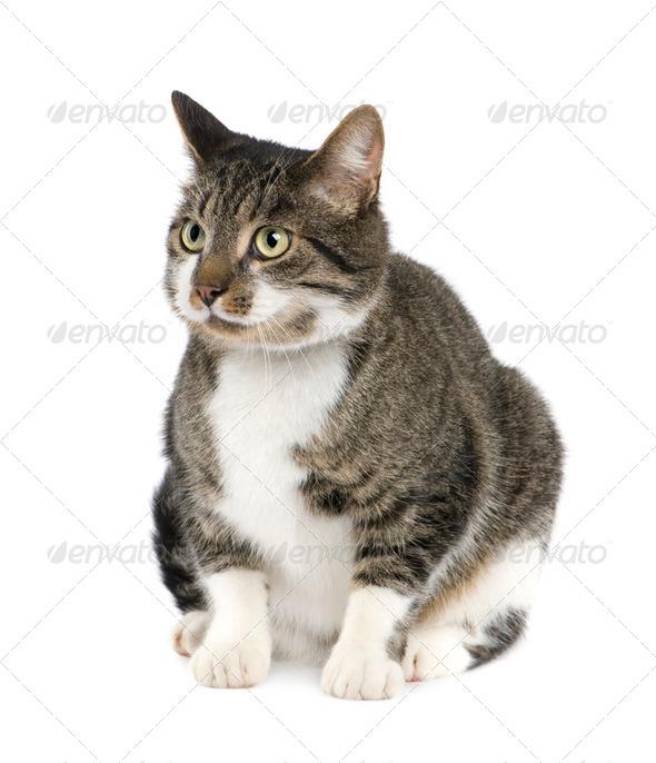 European cat - Stock Photo - Images