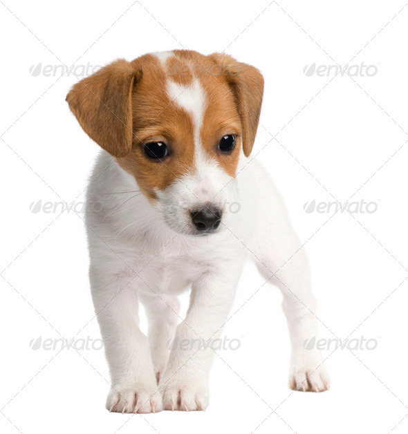 Puppy Jack russell (7 weeks) - Stock Photo - Images
